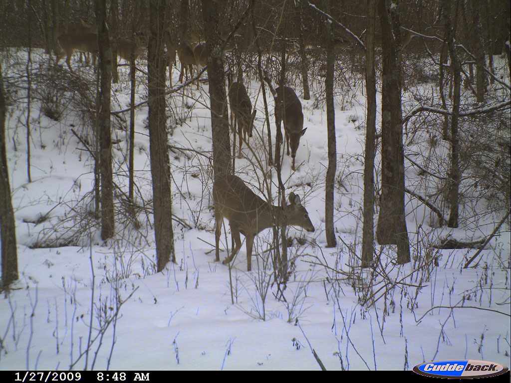 cuddeback capture pictures of some deer
