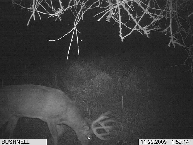 bushnell trophy cam picture of a whitetail buck
