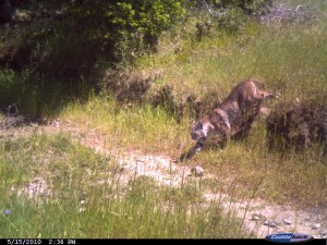 5-15-2010-bobcat-coming-down-embankment-1436h