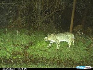 bobcat-photo-1-nicasio-ca-jan-2010