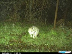 bobcat-photo-2-nicasio-ca-jan-2010