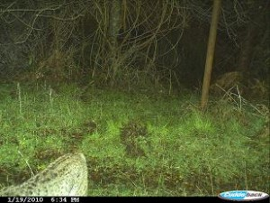 bobcat-photo-3-nicasio-ca-jan-2010