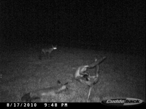 2010-8-14-8-21-cuddeback-fox-029